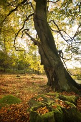 Beech woodland, Longshaw Estate