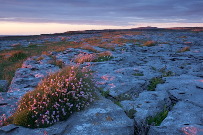 Doolin, thrift in limestone pavement, The Burren