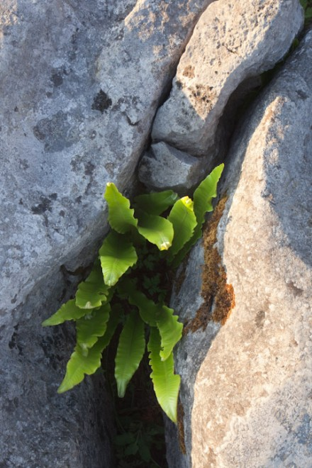 Hart's-tongue Fern, The Burren