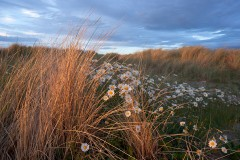 Ox-eyed Daisies and Marram, Streedagh Point