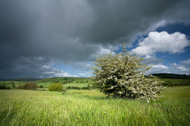 Hawthorn and hay meadow, Reapsmoor
