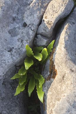 Hart's tongue fern, The Burren