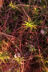 Common dodder, Hartland Point