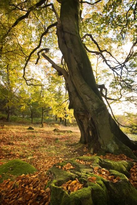Beech woodland, Longshaw Estate
