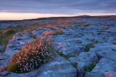 Doolin, thrift in limestone pavement, The Burren