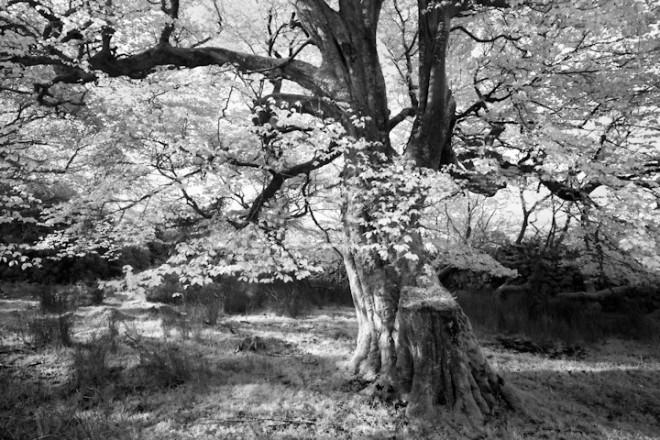 Gortarowey Forest, beech tree