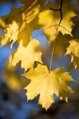 Maple leaves, Ullswater