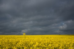Oil seed rape fields, Whitby