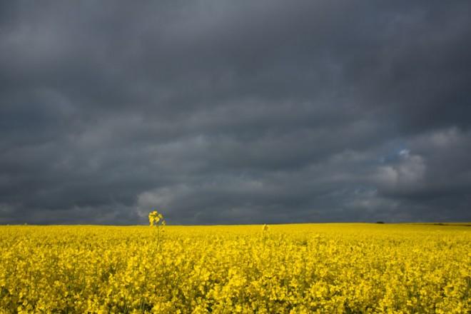 Oil seed rape fields, Whitby