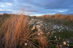 Ox-eyed Daisies and Marram, Streedagh Point
