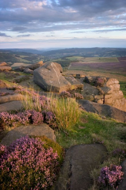 Common heather, Stanage Edge