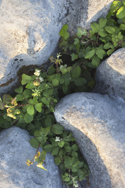 Bllackberry, ivy and sticky bud, The Burren