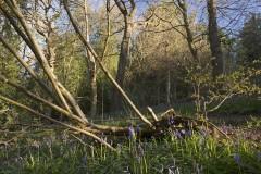 Fallen rowan, sprouting hazel, Linacre Wood