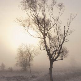 Betula pendula - silver birches, leash fen