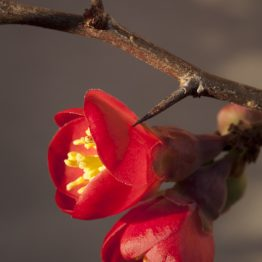 Chaenomeles japonica - japanese quince, my garden