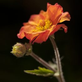 Geum - Totally Tangerine, my garden