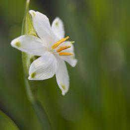 Leucojem aestivum, spring snowflake fully opened, my garden