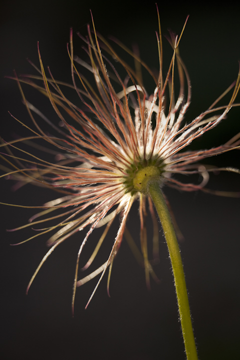 Pulsatilla vulgaris - pasqueflower seedhead, my garden