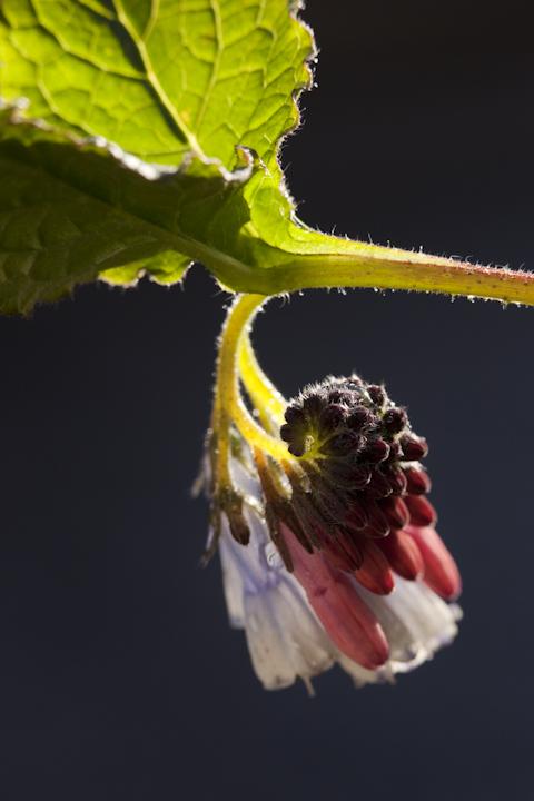 Symphytum grandiflorum - dwarf comfrey, my garden