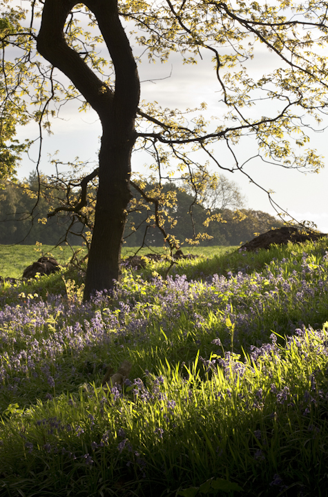 oak and bluebells, owler car wood, moss valley nature reserve